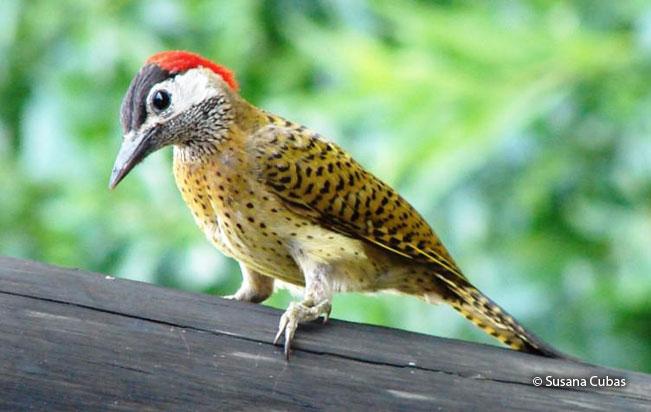 spot-breasted_woodpecker