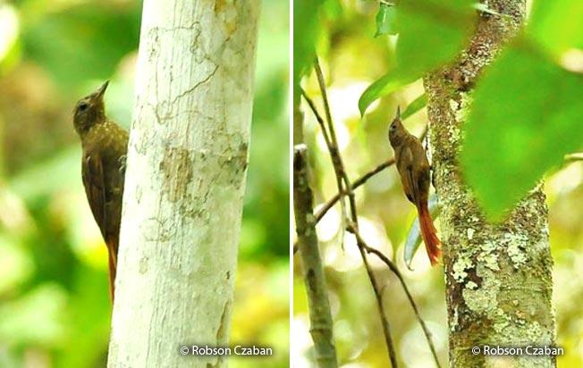 spot-throated_woodcreeper