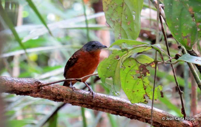 spot-winged_antbird