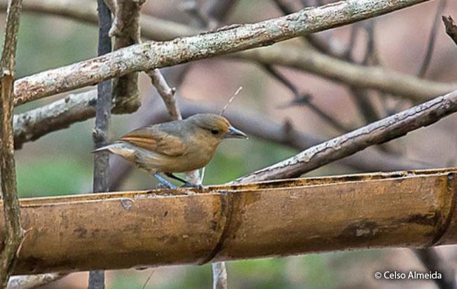 spot-winged_antshrike