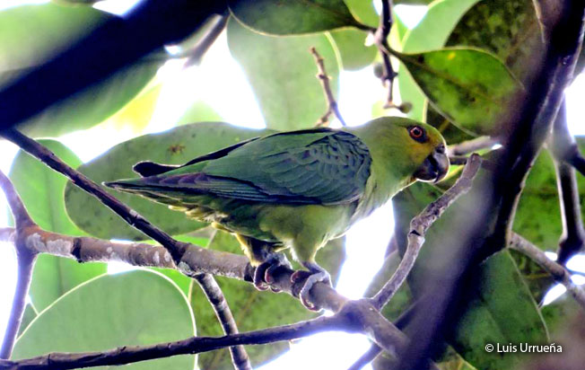 spot-winged_parrotlet
