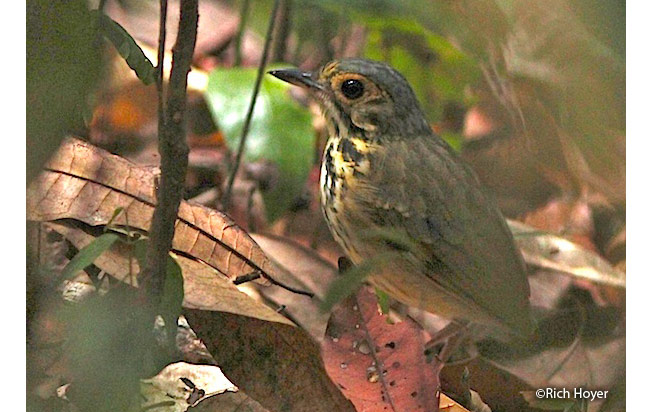 spotted_antpitta