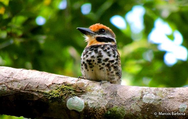 spotted_puffbird