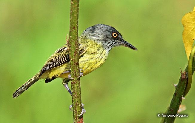 spotted_trody-flycatcher