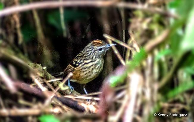 streak-headed_antbird