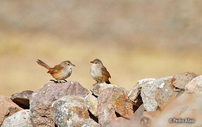 streak-fronted_thornbird