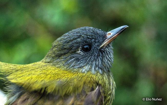 streak-necked_flycatcher