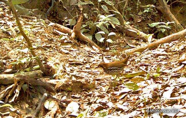 striated-antthrush