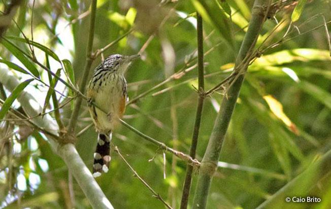 striated_antbird