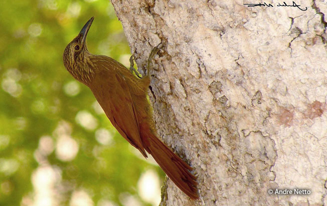 strong-billed_woodcreeper