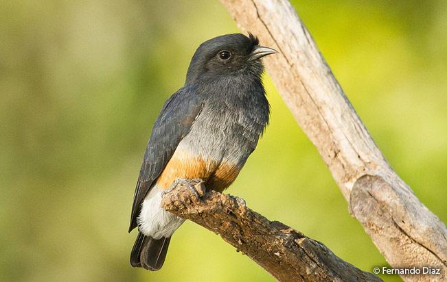 swallow-winged Puffbird