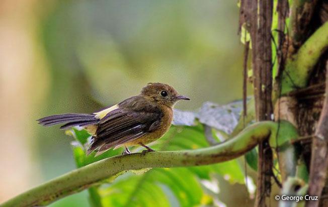tawny-breasted_flycatcher