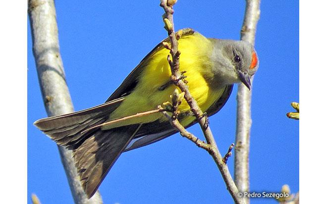 tropical_kingbird