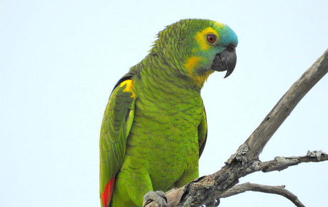 turquoise-fronted_parrot