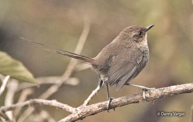 vilcabamba_thistletail