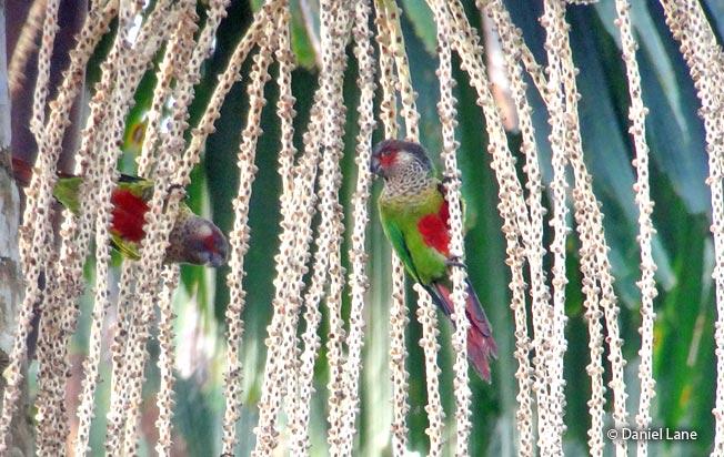 wavy-breasted-parakeet