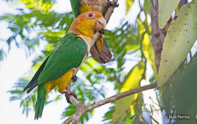 white-bellied-parrot