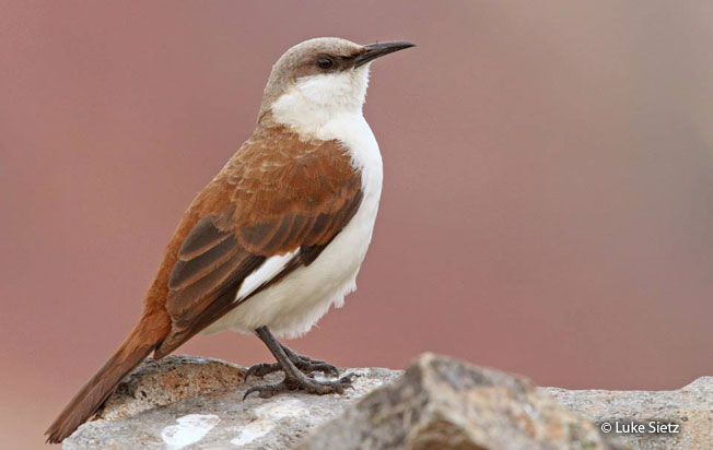 white-bellied_cinclodes