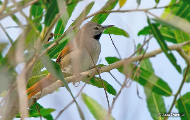white-bellied_spinetail