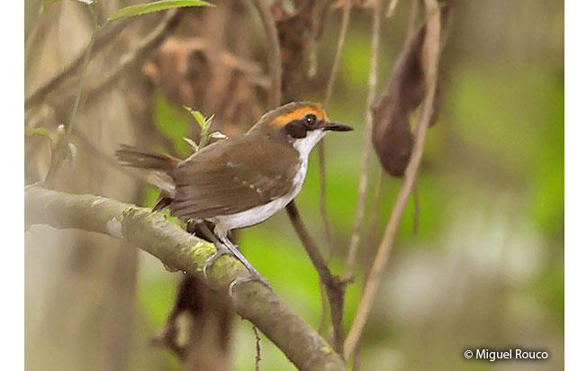 white-browed_antbird