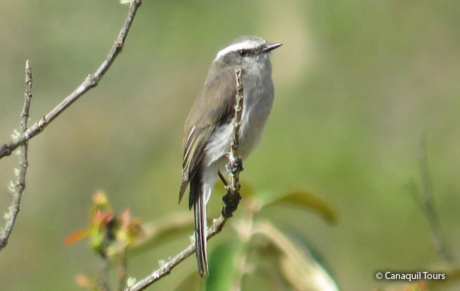 white-browed_chat-tyrant