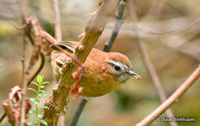 white-browed_spinetail