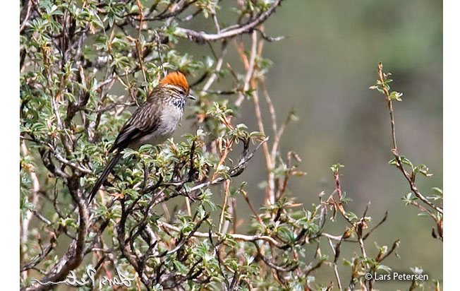white-browed_tit-spinetail