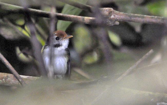 white-cheeked_tody-flycatcher