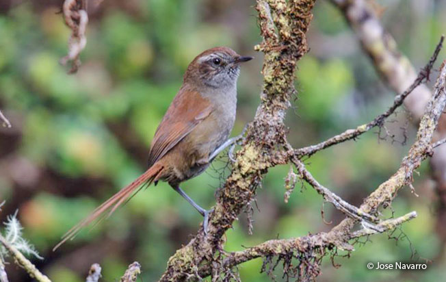 white-chinned_thistletail