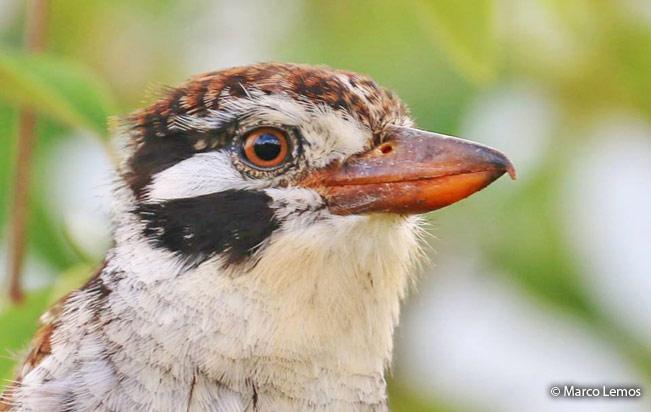 white-eared_puffbird
