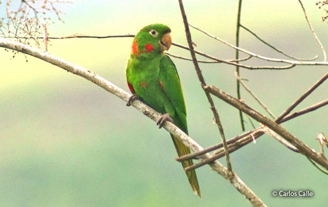 white-eyed_parakeet