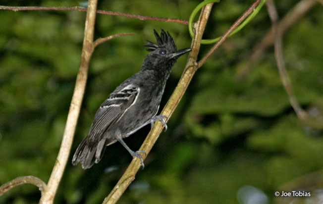 white-lined_antbird