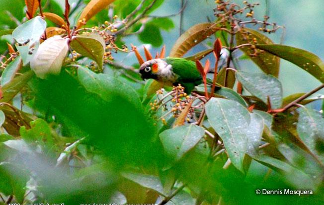 white-necked_parakeet