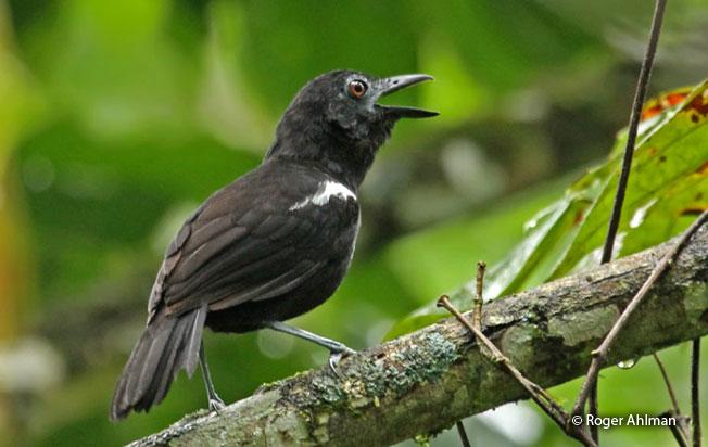 white-shouldered_antbird