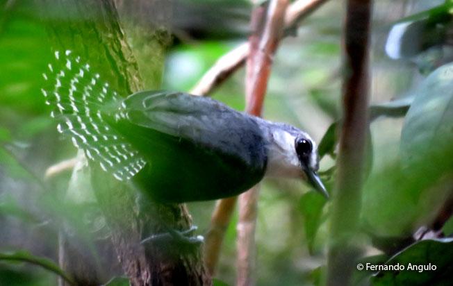 white-throated_antbird