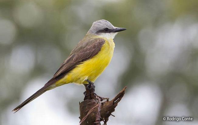white-throated_kingbird