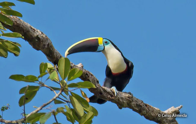 white-throated_toucan