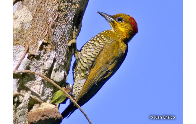 white-throated_woodpecker