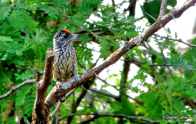 white-wedged_piculet