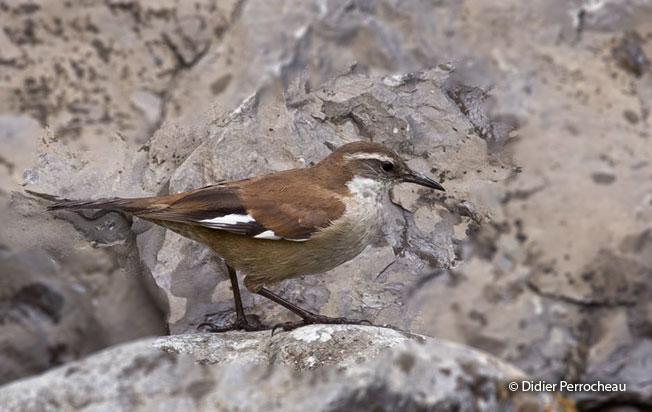 white-winged_cinclodes