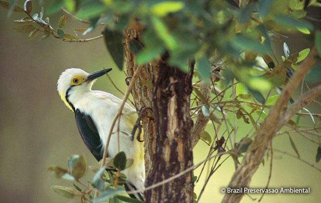 white_woodpecker