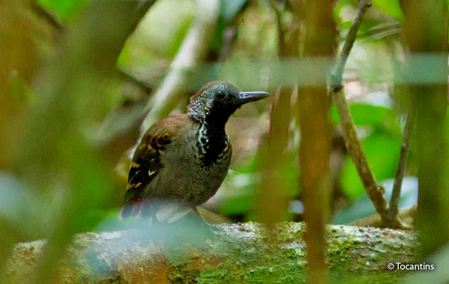 wing-banded_antbird