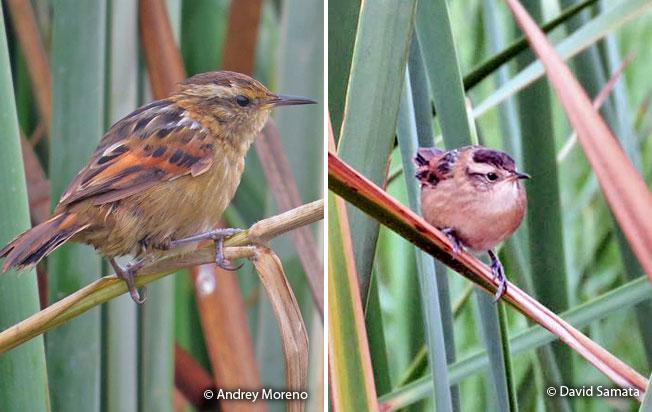 wren-like_rushbird