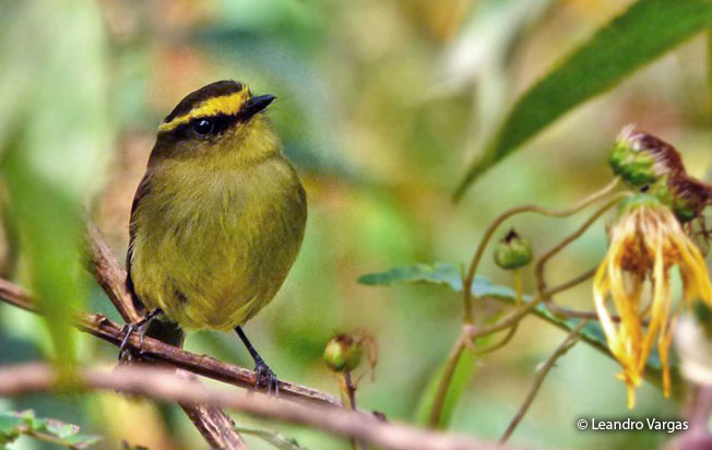 yellow-bellied_chat-tyrant