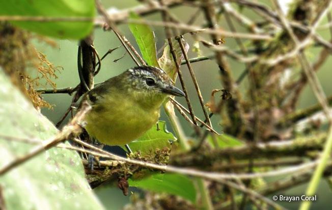yellow-breasted_antwren