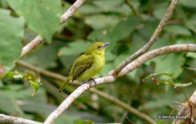 yellow-breasted_flycatcher