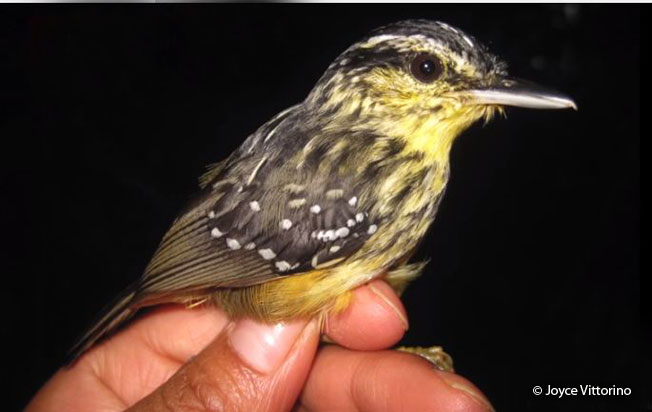 yellow-breasted_warbling_antbird