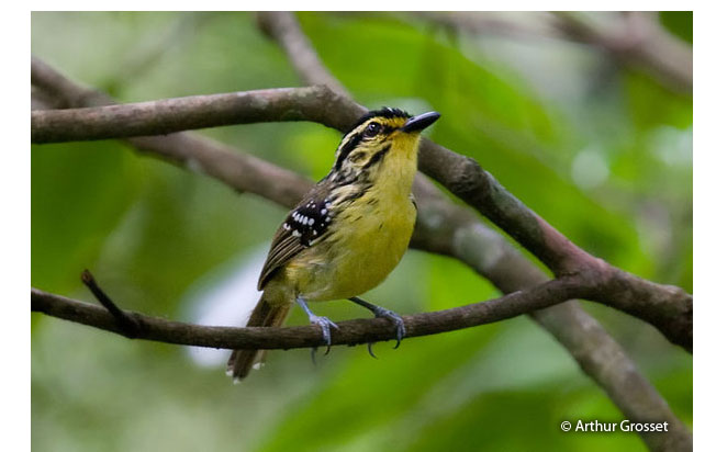 yellow-browed_antbird