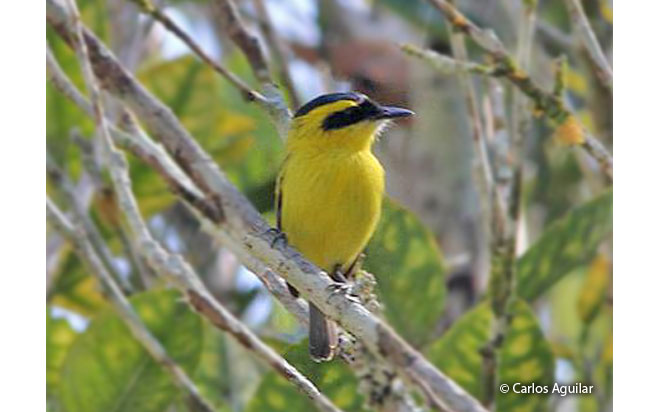yellow-browed_tody-flycatcher