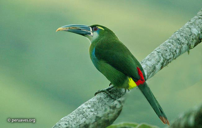 yellow-browed_toucanet